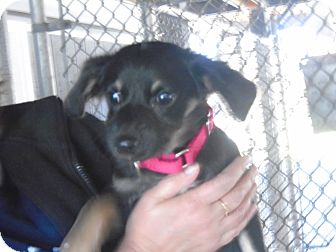 Terrier (Unknown Type, Small) Mix Puppy for adoption in Somerset, Pennsylvania - Jarvis
