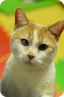 Domestic Shorthair Cat for adoption in Everett, Ontario - Zaya
