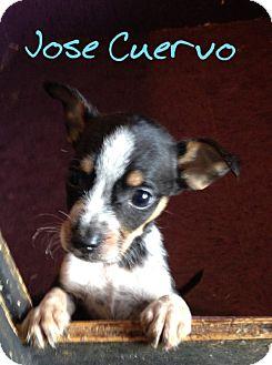 Chihuahua/Dachshund Mix Puppy for adoption in Hainesville, Illinois - Jose Cuevero