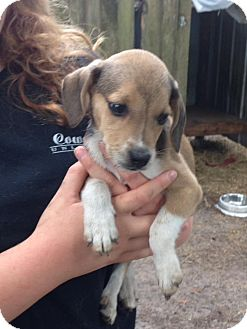 Beagle/Hound (Unknown Type) Mix Puppy for adoption in Groveland, Florida - Munchkin