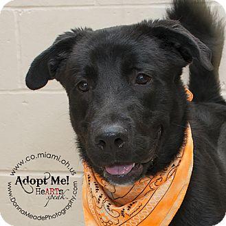 Labrador Retriever Mix Dog for adoption in Troy, Ohio - Dallas