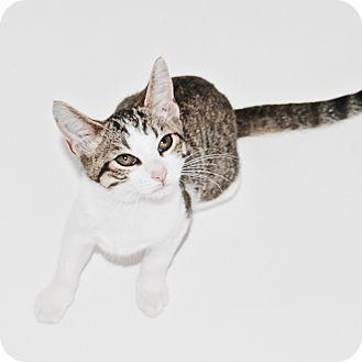 Domestic Shorthair Kitten for adoption in Warren, Michigan - Janice