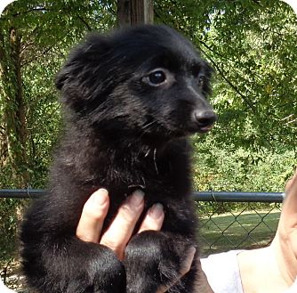 Pomeranian Puppy for adoption in Crump, Tennessee - Spencer