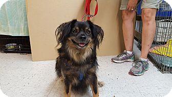 Tibetan Terrier Mix Dog for adoption in Frankfort, Illinois - Scruffy