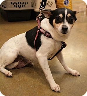 Rat Terrier/Terrier (Unknown Type, Small) Mix Dog for adoption in Sacramento, California - Lexi