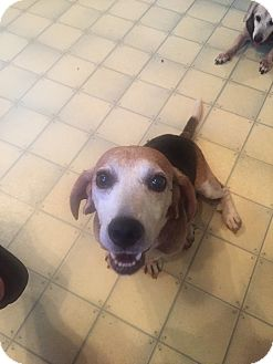Beagle Dog for adoption in Kittery, Maine - Bernie