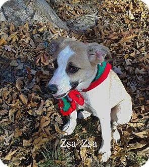 Terrier (Unknown Type, Medium) Mix Dog for adoption in Princeton, Kentucky - Zsa Zsa