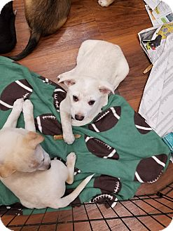 Cattle Dog Mix Puppy for adoption in Milford, New Jersey - Prancer