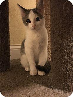 Domestic Mediumhair Kitten for adoption in Lauderhill, Florida - Deyki