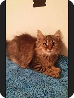 Maine Coon Kitten for adoption in Huntington, Indiana - Gasolina