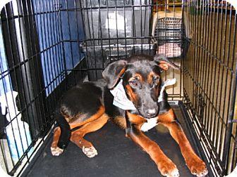 Doberman Pinscher/Hound (Unknown Type) Mix Dog for adoption in Melrose, Florida - Rogue
