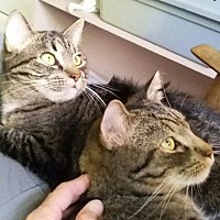 Domestic Shorthair Cat for adoption in Satellite Beach, Florida - Sky & Scrappy