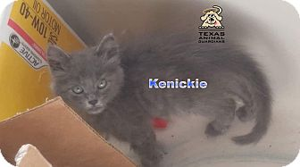 Maine Coon Kitten for adoption in New Braunfels, Texas - Kenickie