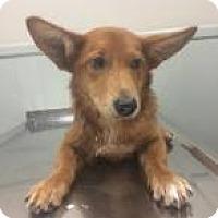 Adopt A Pet :: Mango - Rexford, NY