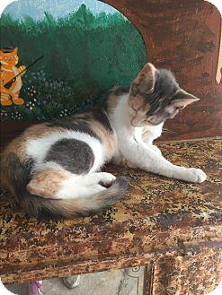 Domestic Shorthair Cat for adoption in Tarboro, North Carolina - Heather