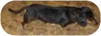 Dachshund Dog for adoption in Cole Camp, Missouri - Dan