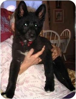 Shepherd (Unknown Type) Mix Puppy for adoption in Avon, New York - Laney