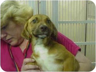 Beagle/Dachshund Mix Puppy for adoption in Manassas, Virginia - Ronni
