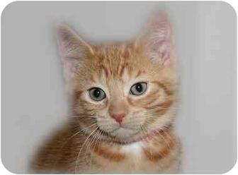 Domestic Shorthair Kitten for adoption in Montgomery, Illinois - Oakley