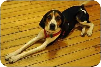 Treeing Walker Coonhound/Foxhound Mix Dog for adoption in Brooklyn, New York - Taylor