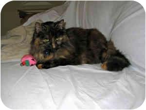 Domestic Longhair Cat for adoption in Folsom, Louisiana - Sarah Beth