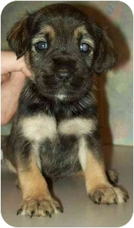 Schnauzer (Miniature) Mix Puppy for adoption in North Judson, Indiana - Lucy