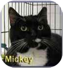 Domestic Shorthair Cat for adoption in Aldie, Virginia - Mickey