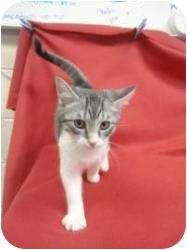 Domestic Shorthair Kitten for adoption in Spruce Pine, North Carolina - Garnet