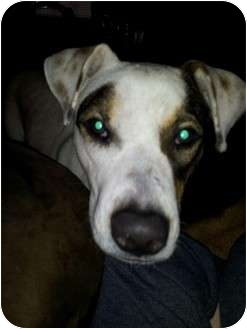Boxer/Labrador Retriever Mix Dog for adoption in Kingwood, Texas - Molly