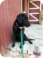 Labrador Retriever Mix Dog for adoption in Torrance, California - Jilly