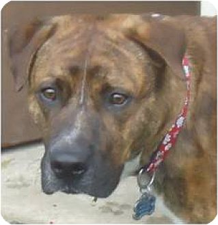 Boxer/Rottweiler Mix Dog for adoption in Beachwood, Ohio - Will