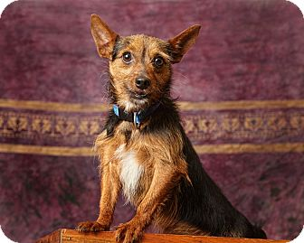 Jack Russell Terrier/Chihuahua Mix Dog for adoption in Harrisonburg, Virginia - Tiny