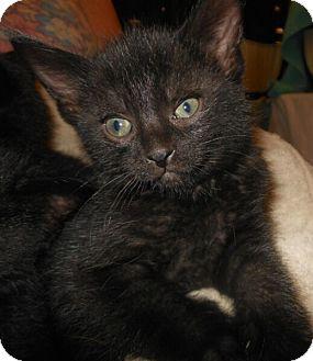 Domestic Shorthair Kitten for adoption in Reston, Virginia - Morgana