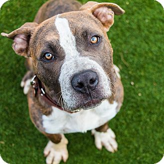 American Staffordshire Terrier/Pit Bull Terrier Mix Puppy for adoption in Los Angeles, California - Sparkplug (male)