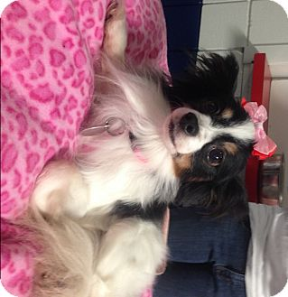 Papillon Mix Dog for adoption in Kalamazoo, Michigan - Kiley - Lizz