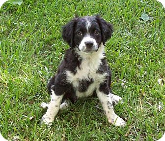 Brittany Mix Puppy for adoption in Sparta, Illinois - PeeWee