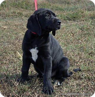 Great Dane/Labrador Retriever Mix Puppy for adoption in Waterbury, Connecticut - Remi/ADOPTED