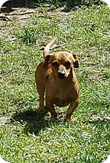 Dachshund/Chihuahua Mix Dog for adoption in Macon, Georgia - Tony