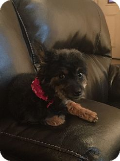 Yorkie, Yorkshire Terrier/Poodle (Miniature) Mix Dog for adoption in Mary Esther, Florida - Stella