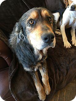 Shepherd (Unknown Type) Mix Dog for adoption in Lyndhurst, New Jersey - Vamp