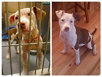 Labrador Retriever/Pit Bull Terrier Mix Dog for adoption in Pataskala, Ohio - Buttercup
