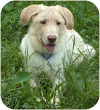 Retriever (Unknown Type)/Husky Mix Puppy for adoption in Milton, Massachusetts - Tonka