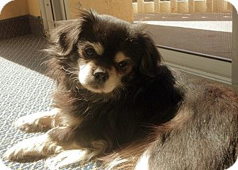 Tibetan Spaniel Dog for adoption in Chatsworth, California - Kirby