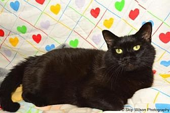 Domestic Mediumhair/Domestic Shorthair Mix Cat for adoption in Neenah, Wisconsin - Frosty