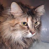 Adopt A Pet :: Avery (The Working Cat) - Louisville, KY