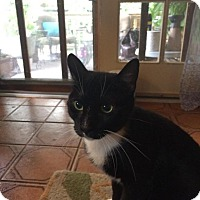 American Shorthair Cat for adoption in Hazlet, New Jersey - Buds