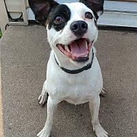 Adopt A Pet :: Scout - River Falls, WI