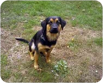Rottweiler/German Shepherd Dog Mix Dog for adoption in Brewster, New York - Raven