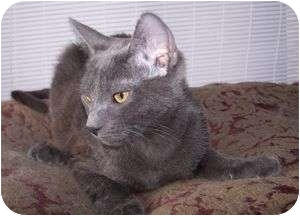 Russian Blue Kitten for adoption in Colorado Springs, Colorado - K-Miranda3