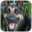 Photo 1 - German Shepherd Dog Mix Dog for adoption in Los Angeles, California - Zack von Zelinger